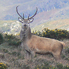 Irish Red Stag, Kerry